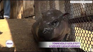 Törpevíziló született a Szegedi Vadasparkban
