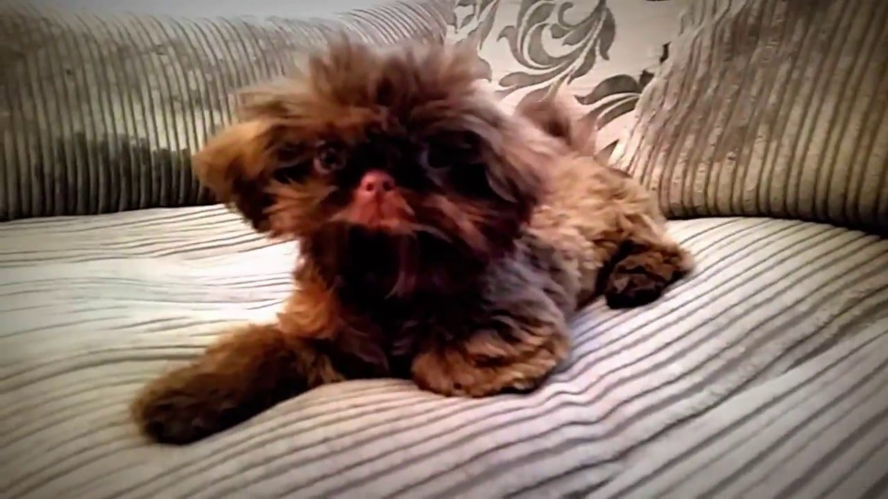 Ben The Imperial Male Shih Tzu 16 Week Old Puppy Chocolate Youtube