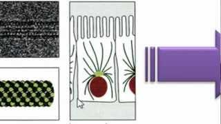 Ayudantía BioCel: El citoesqueleto 1/3 (Microtúbulos)