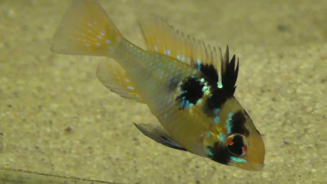 Xl german blue ram cichlid papilochromis ramirezi for German ram fish