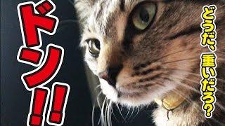 朝、目が覚めると猫さんが胸の上に…! thumbnail