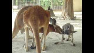 東山動物園のカンガルー親子の微笑ましい時間を切り取ってみました。