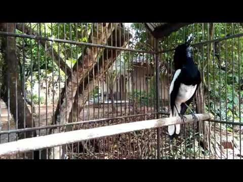 Pancingan burung kacer agar cepat gacor