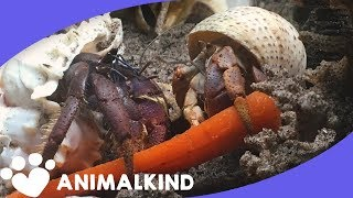 Hermit crabs brought back from the brink of death