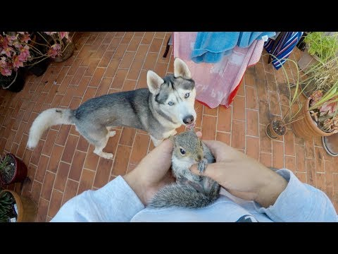 Husky REALLY Wants to Meet Baby Squirrel! Friends?!