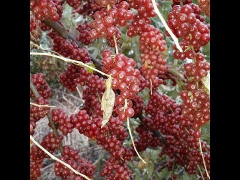 뽈똥, 뻘똥이라고도 부르는 보리수 열매