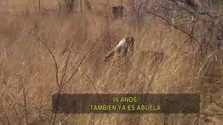 Telenoche - Corazón de León - Parte IV (Final)
