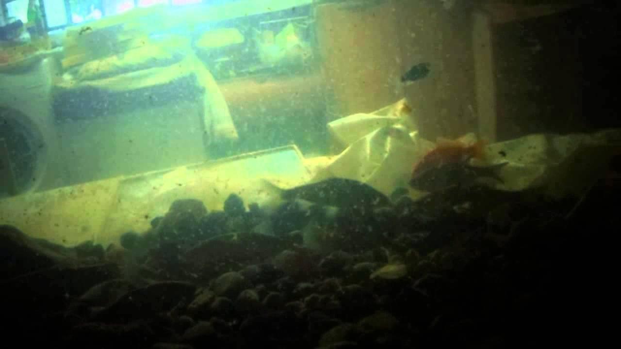 Acquario con pesci di fiume e lago italiani youtube for Pesci di fiume
