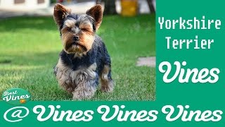 *new* Yorkshire Terrier Are Awesome: Funny  Yorkshire Terrier Vines Compilation | Best Clips Ever!