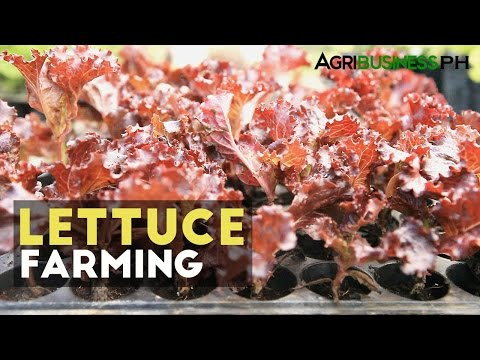 How to grow lettuce in the Philippines | Agribusiness How It Works