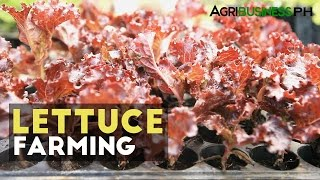 Lettuce Plant : Planting and growing lettuce, lettuce farming in the Philippines #Agriculture