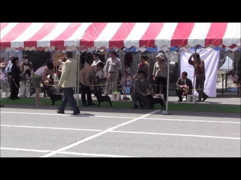 2014 May 4 French bulldog @ Chiba dog show