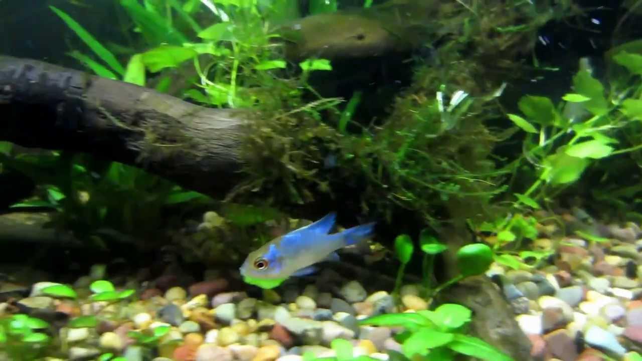 My Dwarf Cichlids In My Planted Tank Youtube