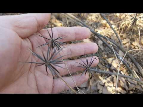 한국의 산나물 106.도깨비바늘(귀침초鬼針草)