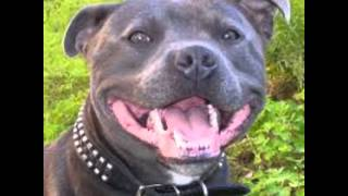 Staffordshire Bull Terrier Please Watch
