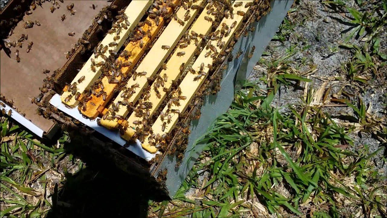 Sweet Pea Farm Beekeeping  Installing A Nuc