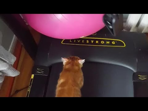 Robin Rock - This cat jumped right on the treadmill