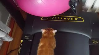 Cat amazingly joins owner on treadmill for workout