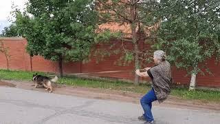Дрессировка собак. Начальный этап преодоления конфликтов с собаками.