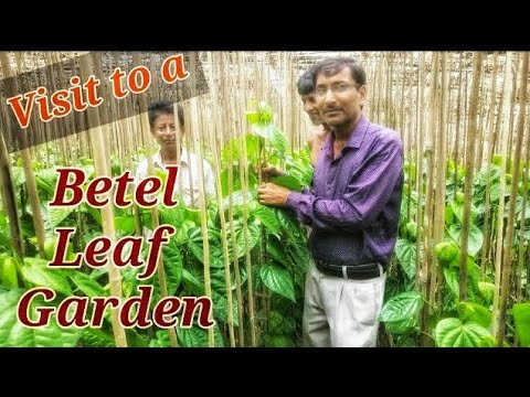 Growing BETEL LEAVES  in the Garden.