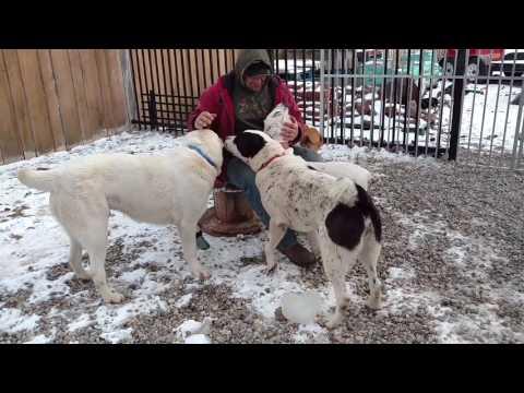 Central Asian Shepherd Lovable dogs