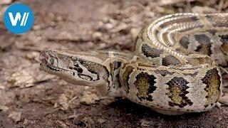 Florida, Invasion der Pythons (360° - GEO Reportage)