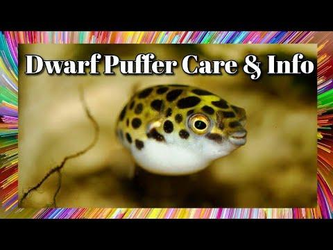 Dwarf Puffer Fish Care And Information -  Pea / Spotted Puffer Fish