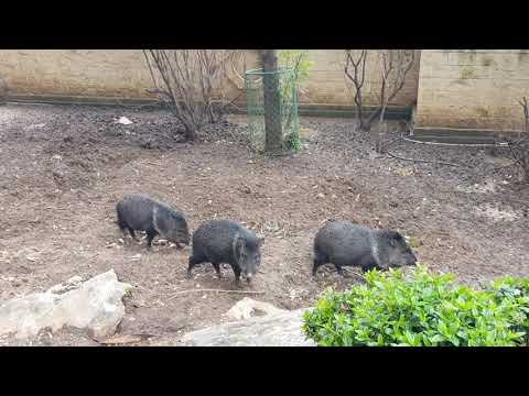 A three males of Collared peccary
