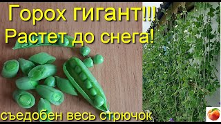 Горох гигант  растет 3 метра и более giant peas Сибирский Сад