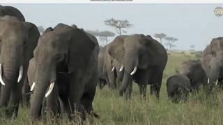 Słonie afrykańskie w stadzie  - świat zwierząt Afryki  ,, Safari