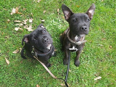 Malko & Pukka - Staffordshire Bull Terrier Puppies - 2 Weeks Residential Dog Training