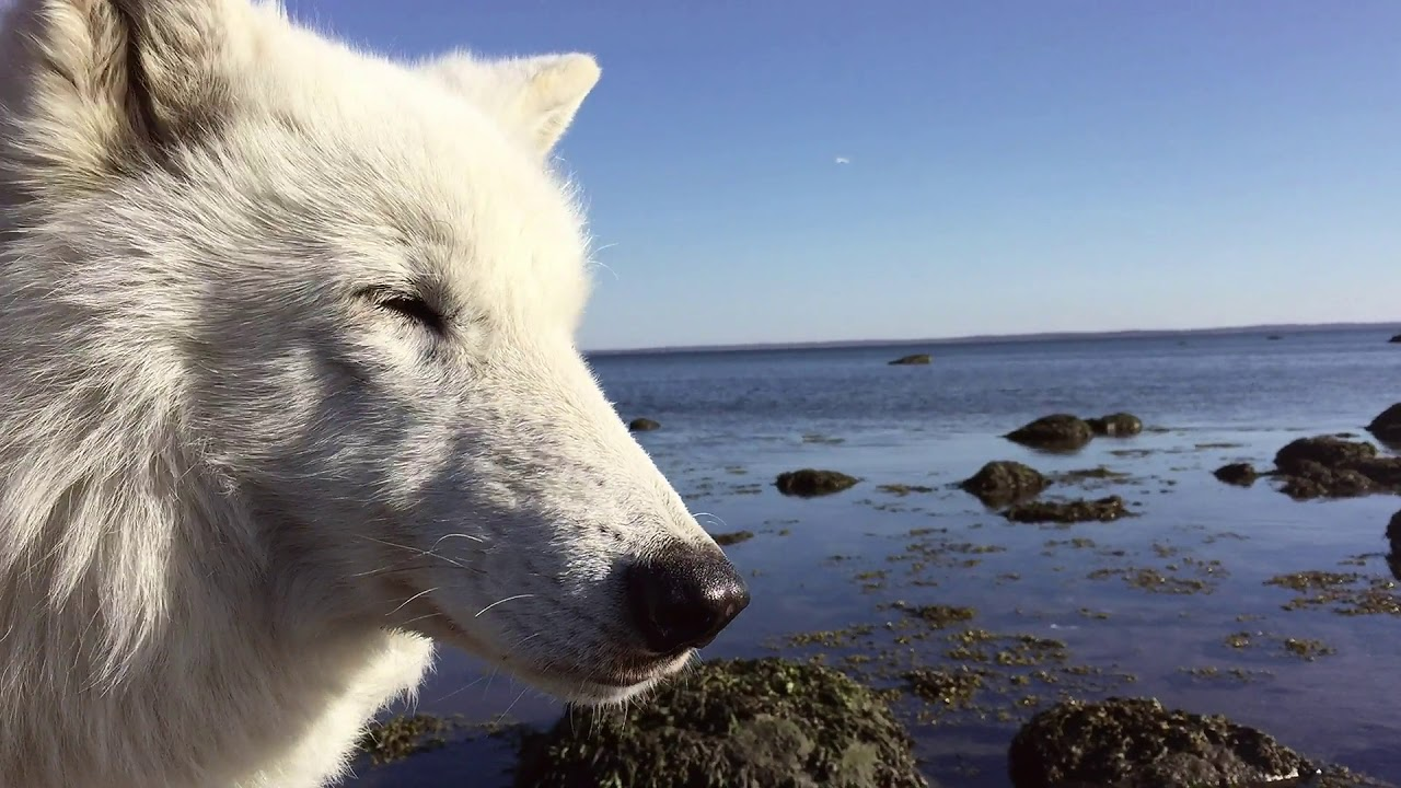 Atka the Wolf Visits the Ocean