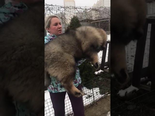 Caucasian Shepherd Dog  Female #1 for sale (3 months) | video 3