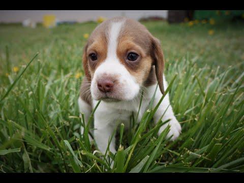 Miniature Beagle Puppies ~ Beagles Pocket Puppies Daily Vlog 2020-0134