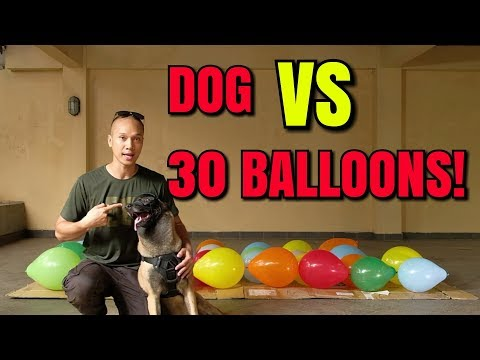 DOG VS 30 BALLOONS! | SPARTA THE BELGIAN MALINOIS