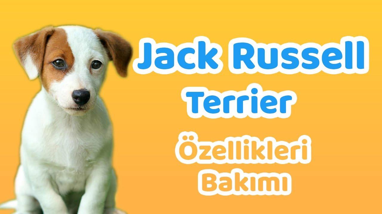 Jack Russell Terrier: karakter