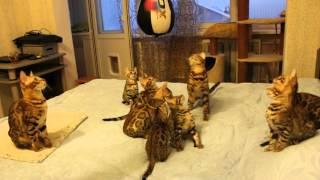 Бенгальские котята от папы из США. Питомник бенгальских кошек