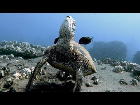 Fish Clean Sleeping Sea Turtle