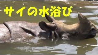 サイの水浴び【動物図鑑】楽しい育児教育