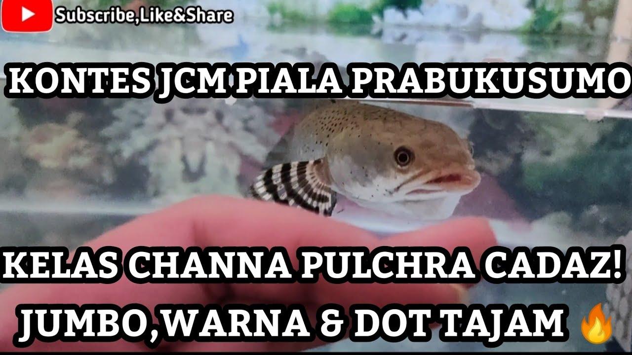 Download KONTES CHANNA JCM PIALA PRABUKUSUMO PULCHRA JUMBO,DOT DAN WARNA PEDES KUMPUL DIMARI SOB CAKEP EUY!