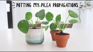 potting my miniature pilea propagations in soil!