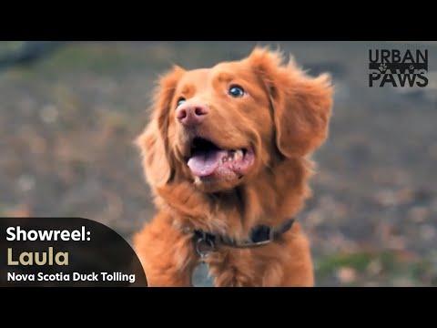 Dog Training: Laula (Nova Scotia Duck Tolling Retriever)