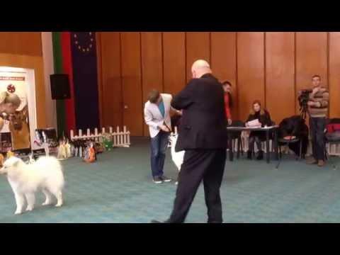 Special Samoyed Dog Show CAC Sofia 2014 Best Female