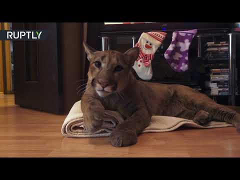 Puma in da house: Cougar named Messi 'adopted' by Russian couple