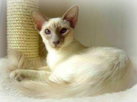 Animal Planet  :  Cats 101  ~ Javanese