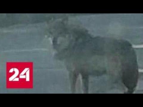 В Подмосковье волк напал на школьника - Россия 24