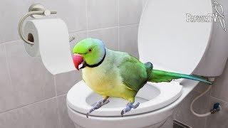 Czy papugi robią siku czy kupę i czy można je nauczyć robić to w jednym miejscu