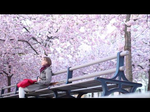 Cherry Blossom (Kungsträdgården)