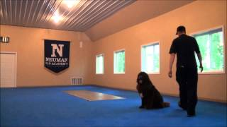 Maggie (chocolate Newfoundland) Boot Camp Dog Training
