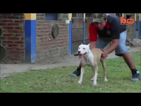 Incredible Pitbull   The pit bull dog power 2016